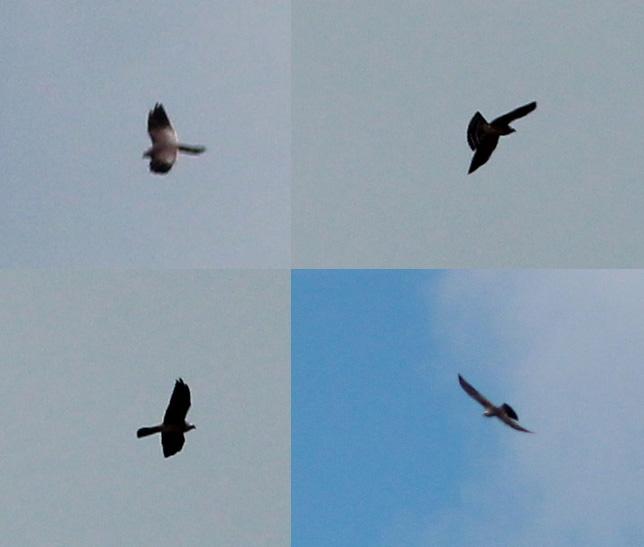 Currucas | Aves de América del Norte | Aves de América del Norte