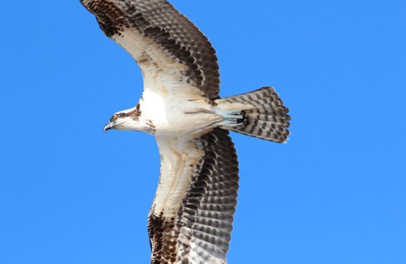Osprey Domination and The First Broad-wingeds | Florida ...