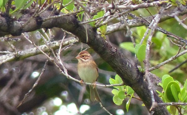 Clay-colored Sparrow L1010444