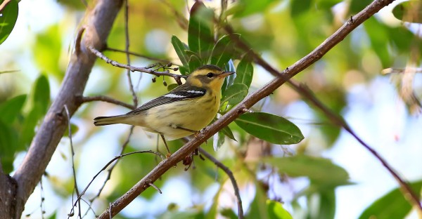 Blackburnian Warbler. Photo by Bob Stalnaker.