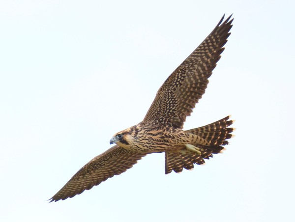 Peregrine Falcon photographed at Curry Hammock State Park by Kevan Sunderland.