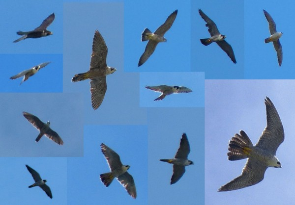 PEREGRINES COMPOSITE END OF SEPT2013