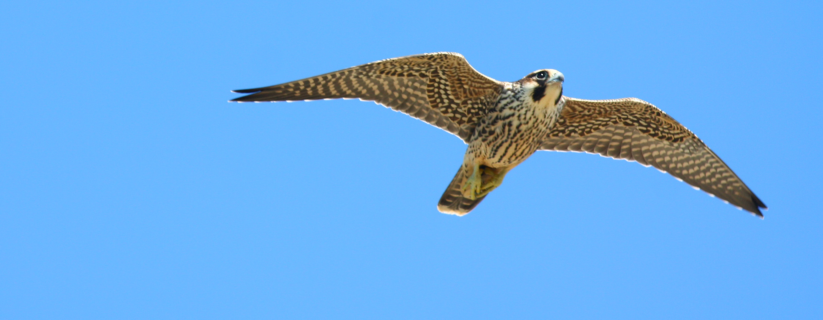 Another Record Peregrine Falcon Count! | Florida Keys ...