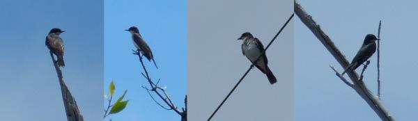 Eastern Kingbirds - Curry Hammock
