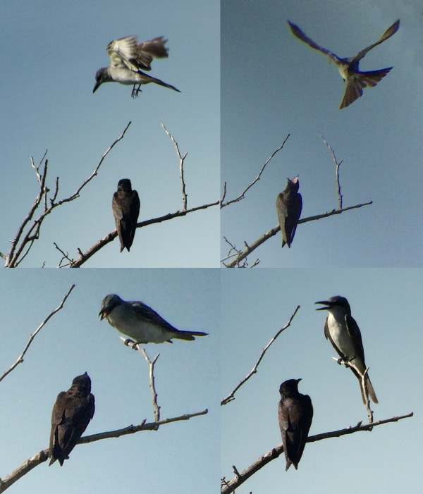 Gray Kingbird and Swallow 2