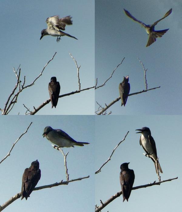 Gray Kingbird and Swallow 2