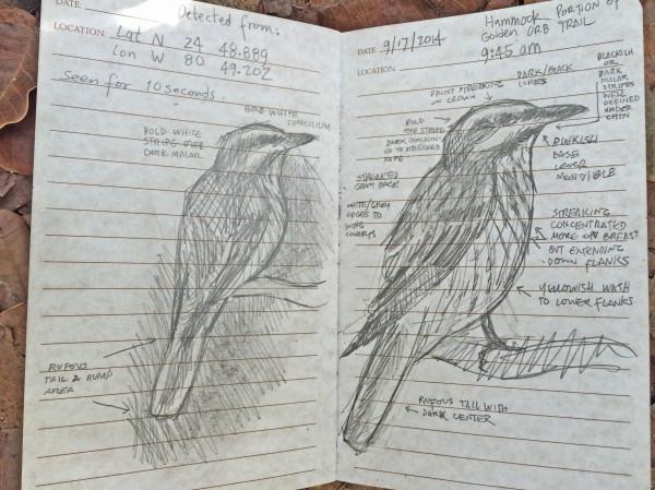 9-17-2014 LKSP Sulphur-bellied Flycatcher