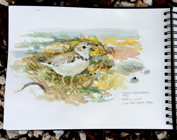 Field sketch of a Piping Plover (Charadrius melodus) as it worked the wrack line. By Rafael Galvez.