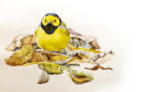 Hooded Warbler field sketch by Rafael Galvez.