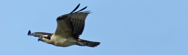 An Osprey migrating over the Middle Keys. Photo by Rafael Galvez. Leica V-Lux 4.