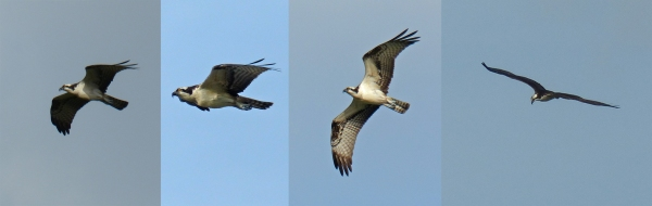 Ospreys migrating over the Middle Keys. Photos by Rafael Galvez. Leica V-Lux 4.