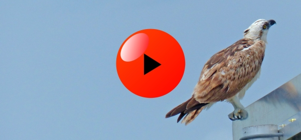 Ridgway's Osprey video