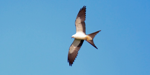 Swallow Tailed Kite In Flight Florida Keys Hawk Watch 2014 b