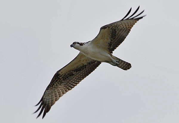Migrating Osprey, Curry Hammock SP. Photo by Ted Keyel.