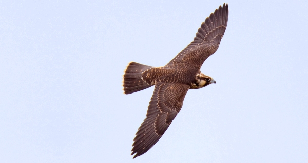 Immature Peregrine Falcon flying by the Florida Keys Hawkwatch. Photo by Keven Sunderland.