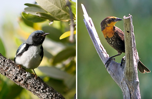 Black-throated Blue Warbler by Ted Keyel. Yellow-headed Blackbird by Rafael Galvez.