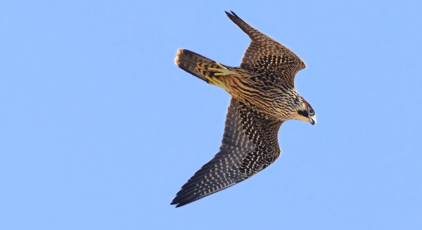 Another excellent photo of a Peregrine Falcon by Kevan Sunderland, taken at the Florida Keys Hawkwatch.